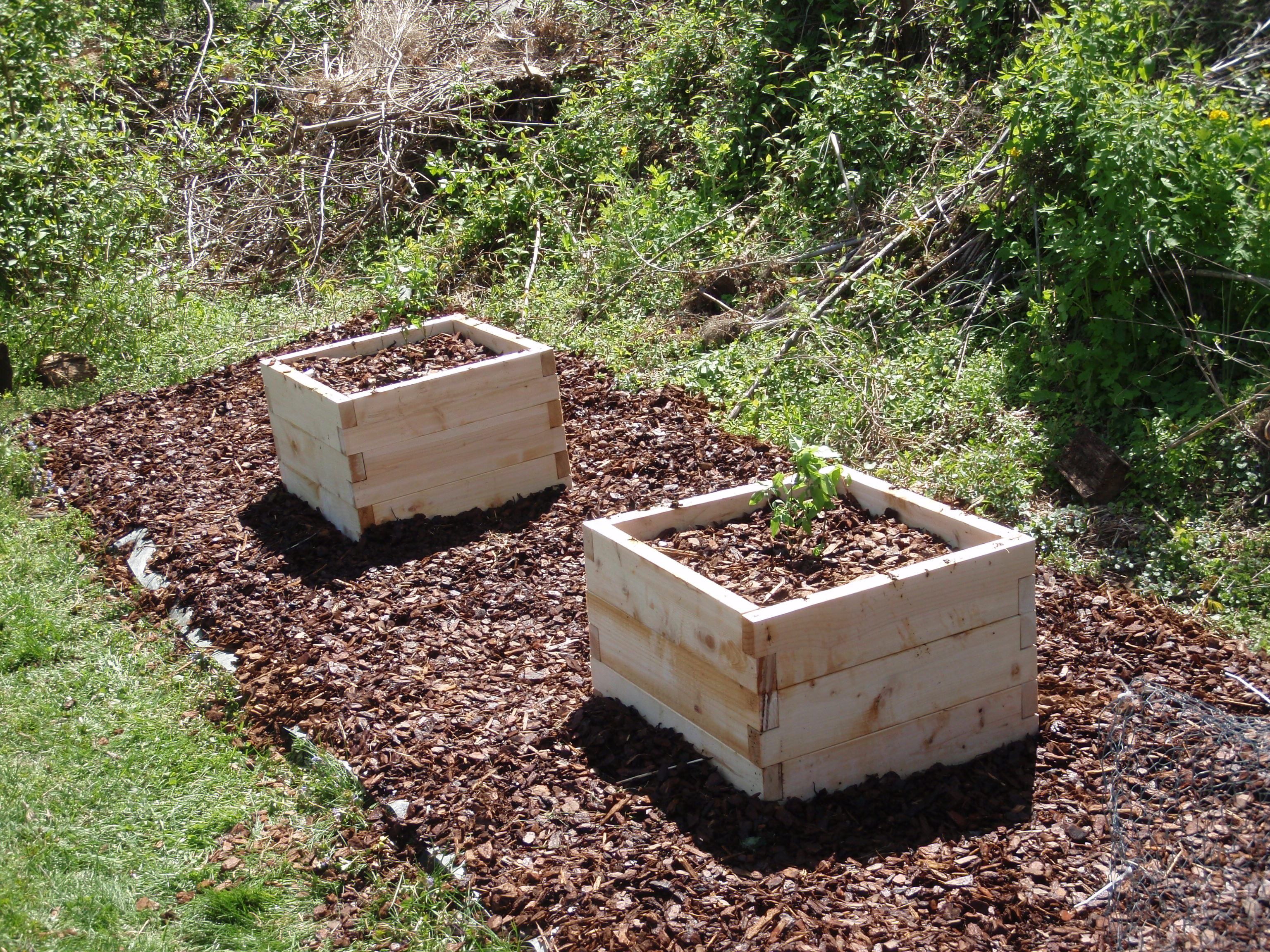 How to plant blueberry bush - I Took Advantage Of A Quiet Weekend To Go In And Plant A Couple Of Blueberry Bushes I Had Ordered From Gurneys Brigitta And Bluecrop Varieties